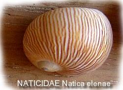 seashells_on_the_beach_naticidae