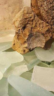 Fossil and Beach Glass - Chesapeake Bay History and Mystery