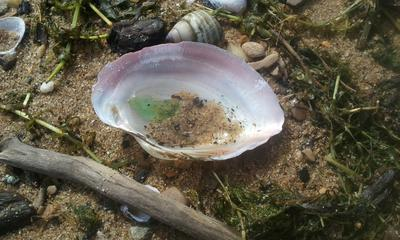 Sea Glass Sleeping in a Shell