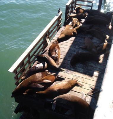 Sea Lions on Wharf Deck, Santa Cruz, California