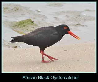 Swartvlei Beach wildlife