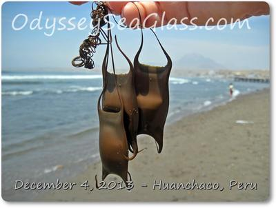 Mermaids Purses - actually shark or skate egg cases. These were fresh and nice. Nice? Hmmm...