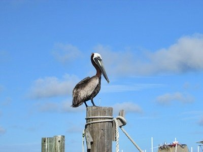 Alabama, Gulf Shores, Beach, shore birds