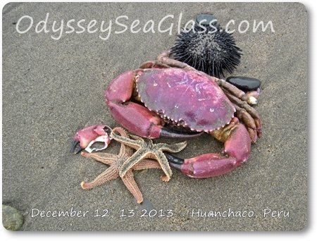 crab_starfish_huanchaco_beach_peru